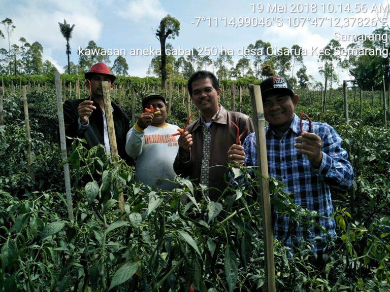 Kebutuhan Cabai Mei-Juni di Jabodetabek Mampu Dipasok dari Garut