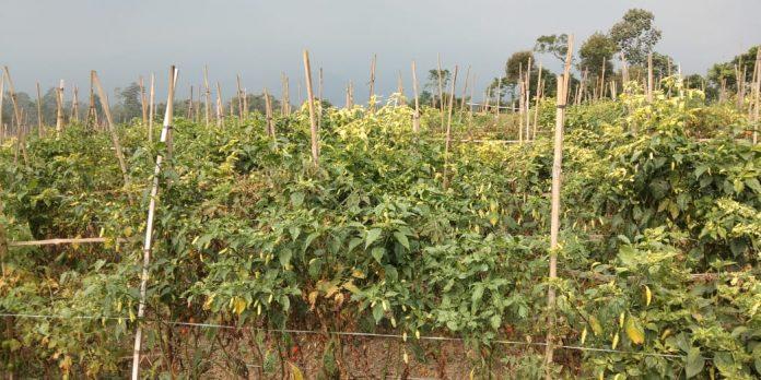 Ladang cabai di Desa Ngantru, Kecamatan Ngantang, Kabupaten Malang, Jawa Timur