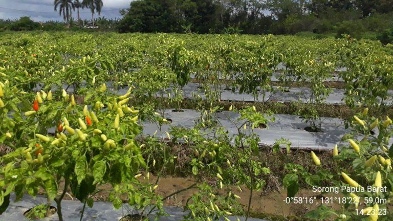 Geliat Hortikultura di Bumi Kepala Burung