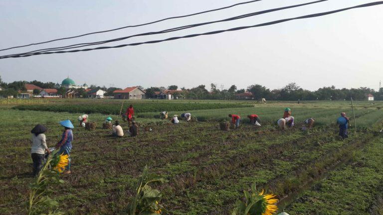 Petani Brebes Puas Hasil Panen Bawang Merah Berukuran Jumbo