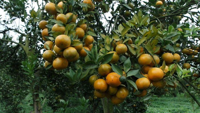 Petani Jeruk di Kabupaten Karo Sambut Baik Pengembangan Jeruk Tanpa Biji