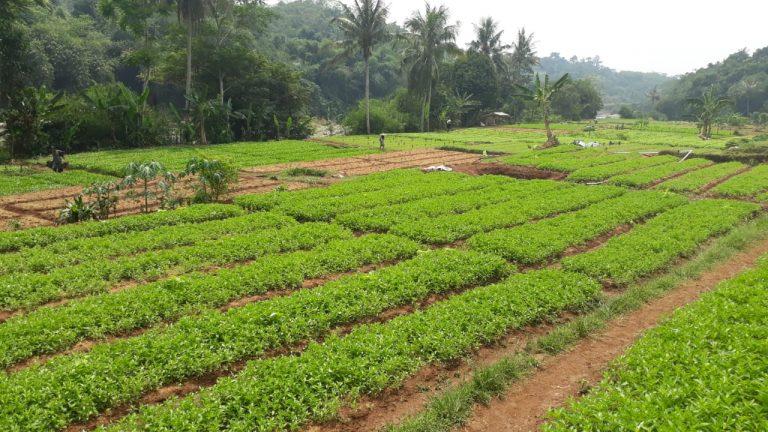 Kementan Genjot Produksi Sayuran Organik