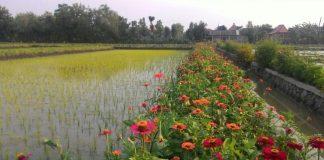 Area budidaya tanaman sehat padi