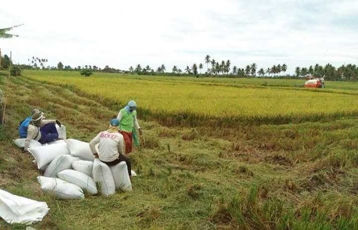 Pengamat : Produksi Beras Dalam Negeri Surplus, Ini Buktinya