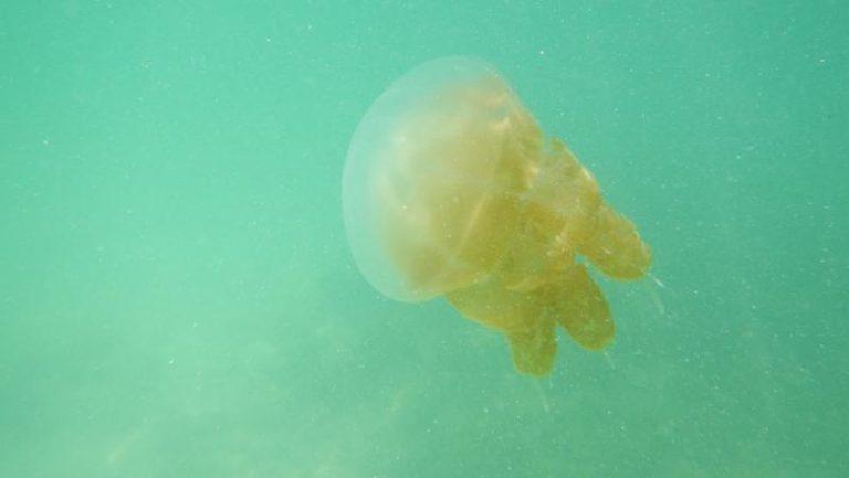Kordinasi dengan LIPI, Pengelola Pantai Ancol Teliti Kemunculan Ubur-ubur