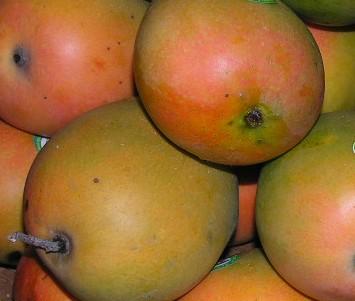 Mangga Gedong Gincu di Kabupaten Cirebon yang Tak Pernah Henti Produksi