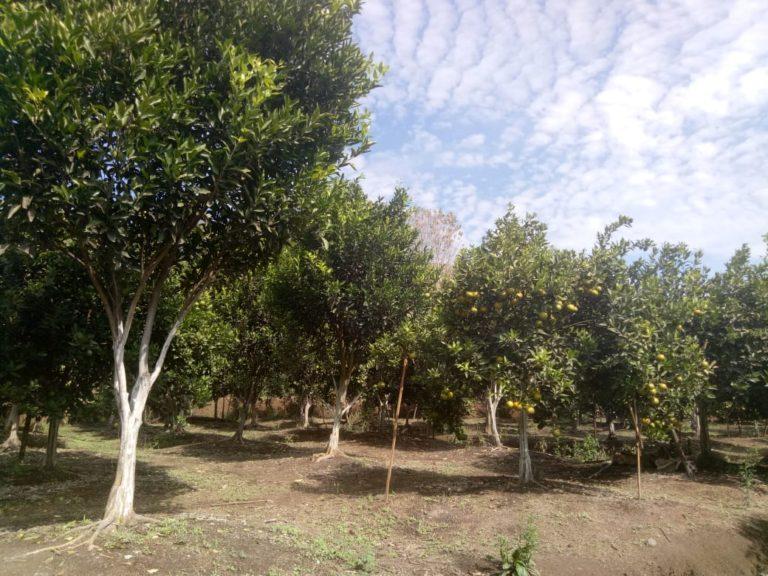 Kementan dan Pemda Garut kembangkan Agrowisata Jeruk
