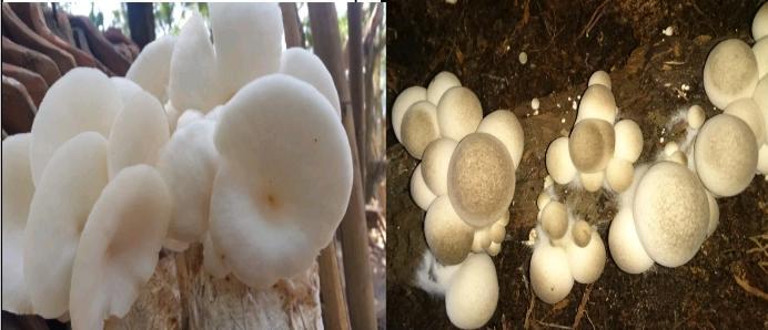 Peluang Ekspor Usaha Tani Jamur yang Menjamur