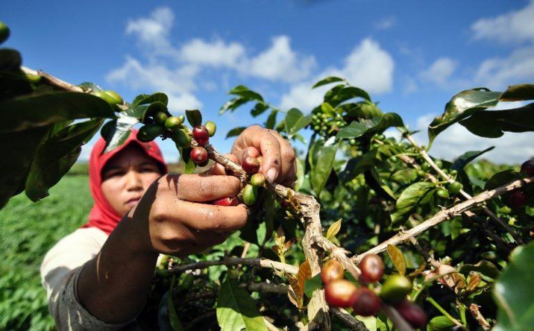 Kabupten Kerinci Jadi Penghasil Kopi Berbasis Agrowisata