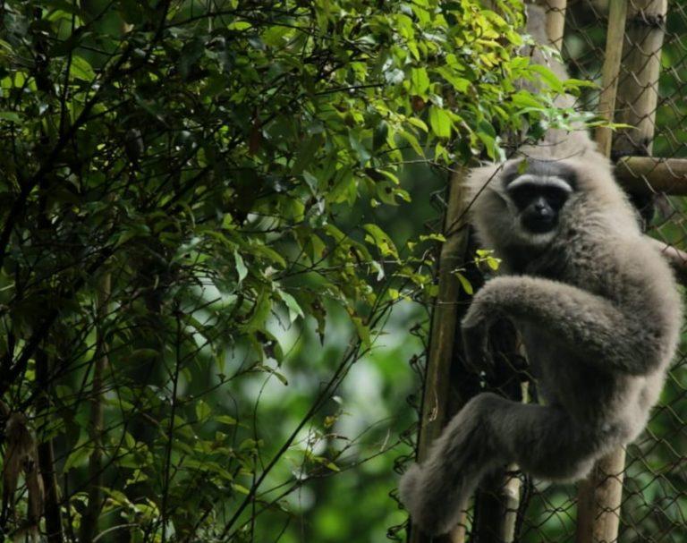 Lima Individu Owa Jawa dilepasliarkan di Hutan Lindung Gunung Malabar