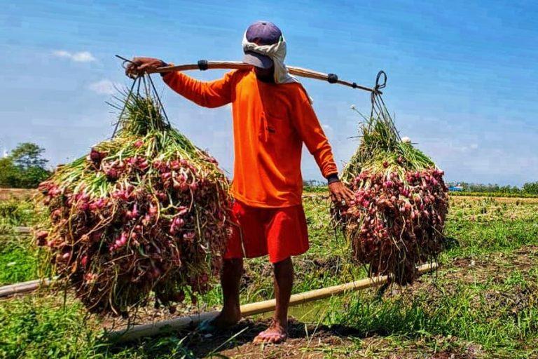 Petani Bawang Merah Brebes Semangat Tanam, Hasilnya Untung