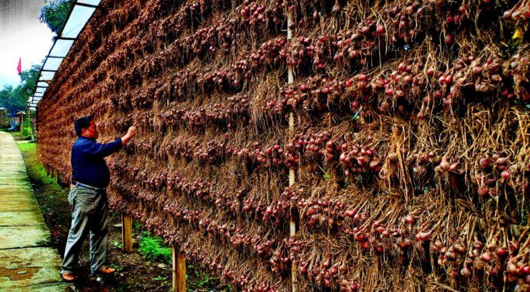 Ulet dan Kompak, Petani Bawang Merah Batu Ijo Malang Makin Sejahtera
