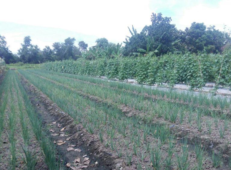 Gairah Perkembangan Sayuran Organik di Batola Kalimantan Selatan