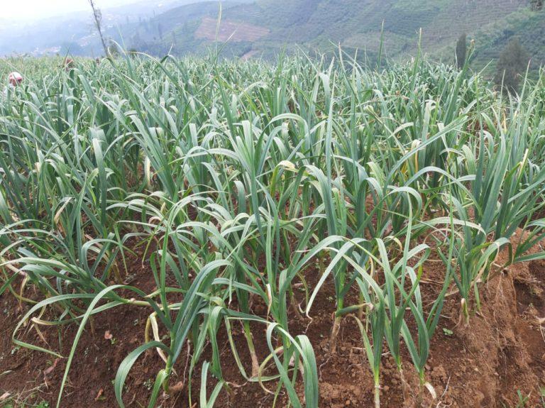 Potensi Lahan Bawang Putih di Pasuruan 3.000 Hektare
