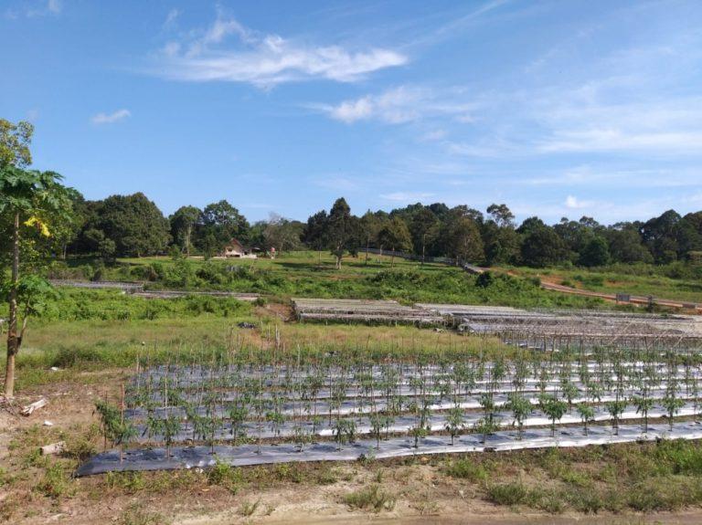 Potensi Durian dan Manggis di Bumi Laskar PeIangi