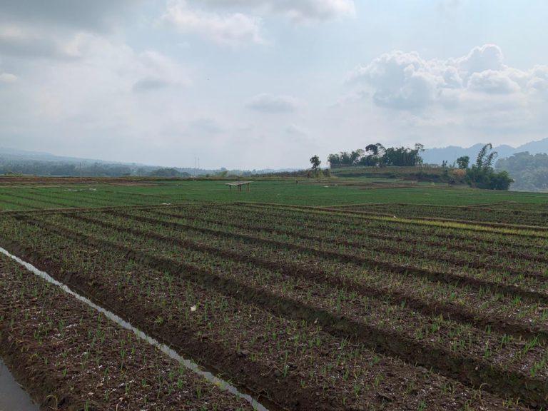 Setkab Kunjungi Korporasi Bawang Merah Binaan Kementan di Malang