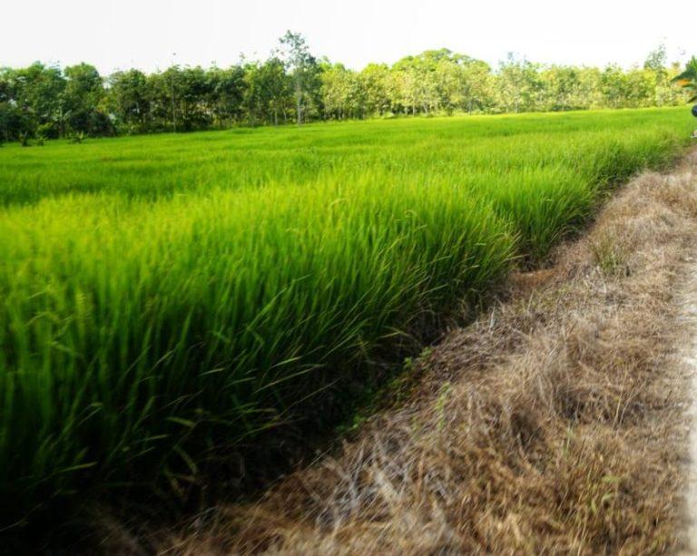 IFW: Usut dan Periksa Sumber Masalah Benih Padi IF8 di Aceh