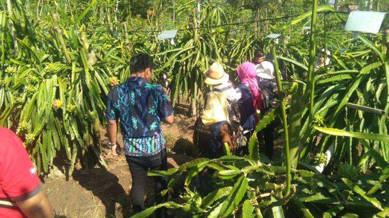 Hasil Verifikasi Memuaskan, Buah Naga Siap Melenggang ke Negeri Tirai Bambu