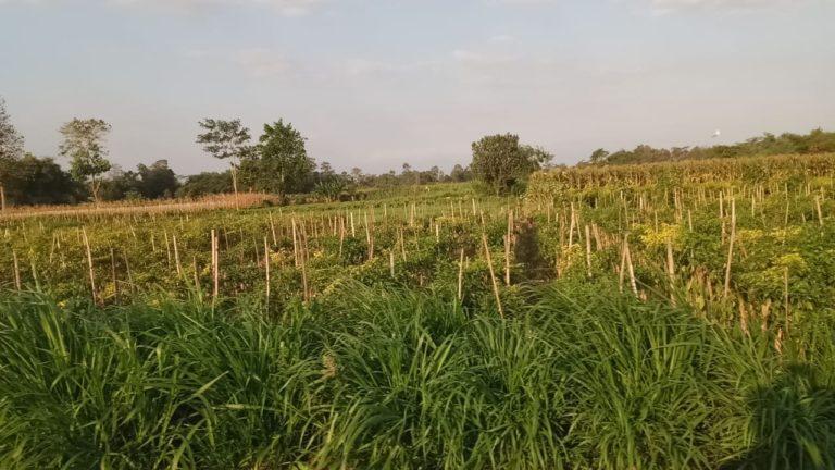 Tumpang Sari dan Tumpang Gilir Cabai: Satu Lahan Untung Ganda