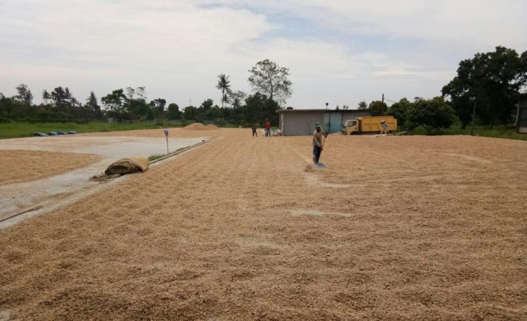 Tongkol Jagung Sumatera Utara di Ekspor ke Jepang
