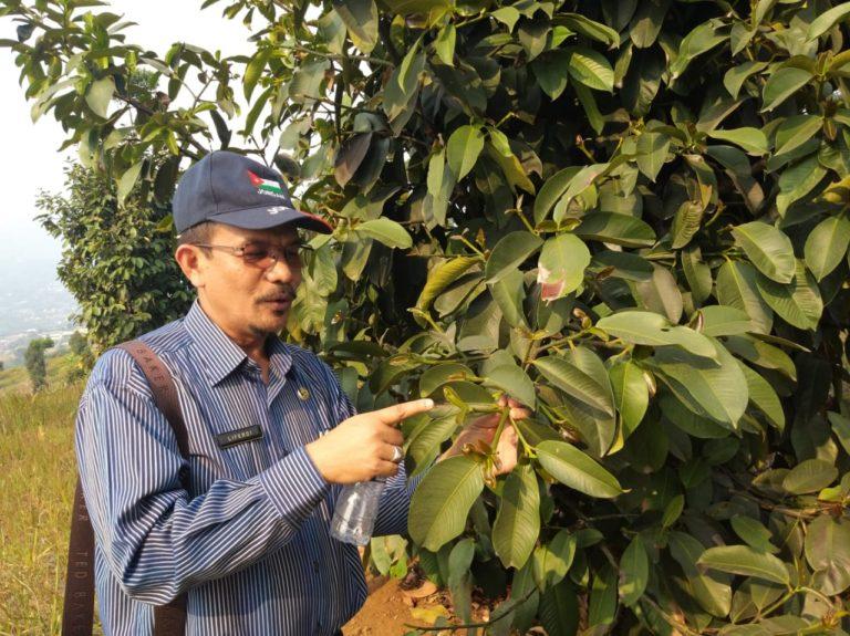 Kementan Dorong Pengembangan Manggis untuk Konservasi