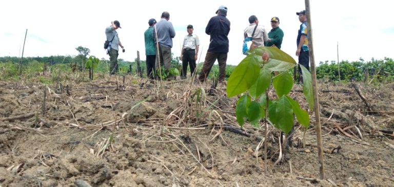 Kementan Kembangkan Jengkol Ratusan Hektar di Banten