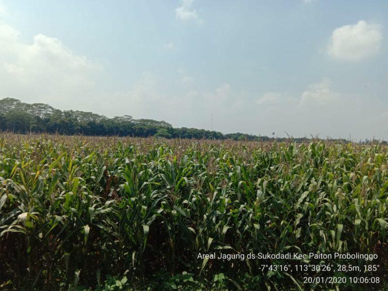 Kementan Catat Peningkatan Pendapatan Petani Jagung di Probolinggo