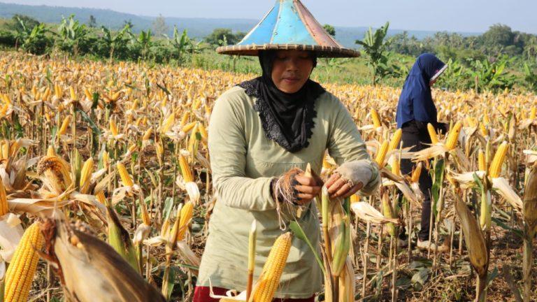Petani dan Pedagang Jagung Pertanyakan Peranan Kemendag
