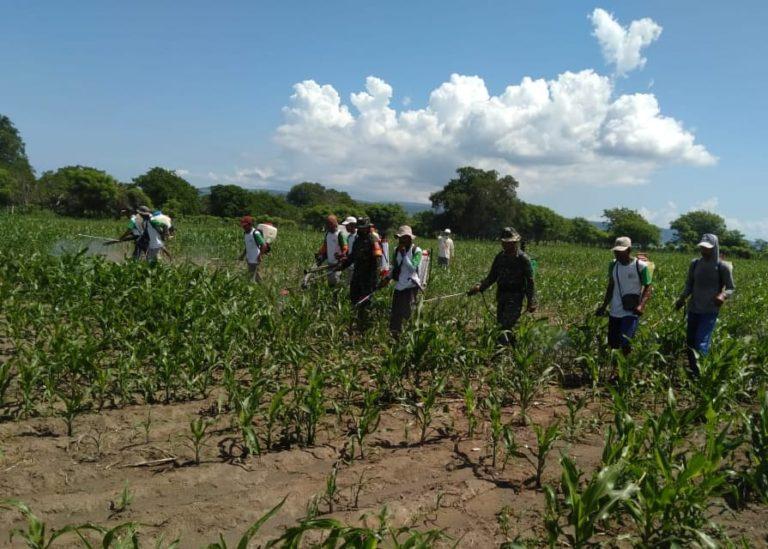 Kementan Aktif Berikan Pengetahuan Pengendalian Ulat Grayak pada Petani