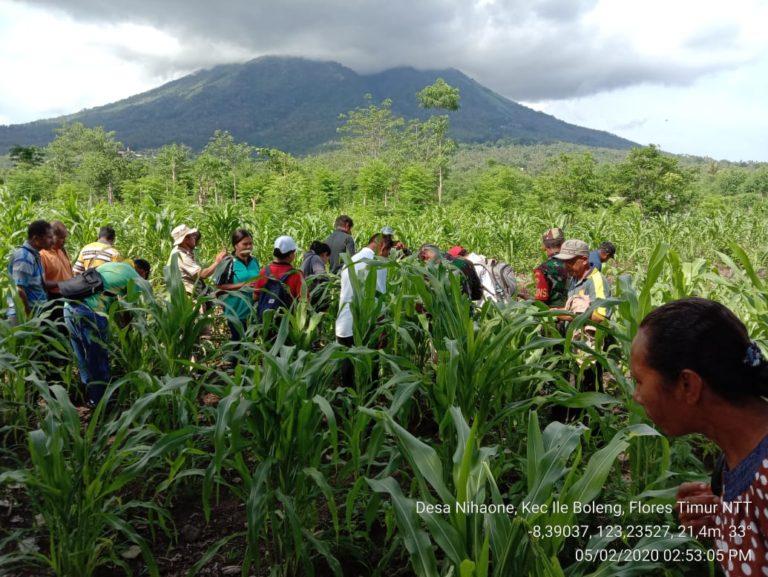 Kementan Terus Berupaya Kendalikan Hama Ulat Grayak di Kabupaten Flores Timur