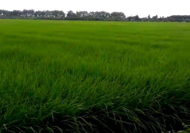 Kementan Siap Kembangkan 10 Ribu Hektar Padi Kaya Gizi