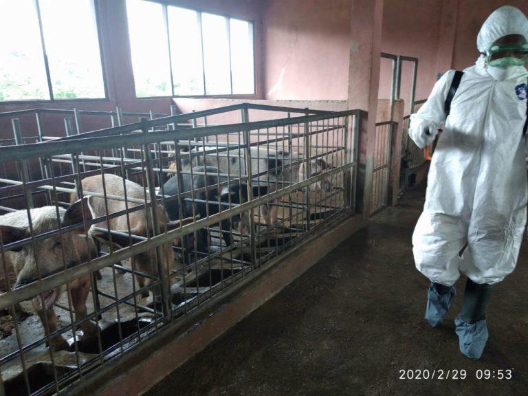 Cegah Penyebaran Kasus, Kementan Petakan Kasus Kematian Babi di NTT