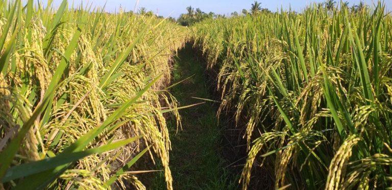 Bupati Jayapura Optimis Tingkatkan Produksi Padi
