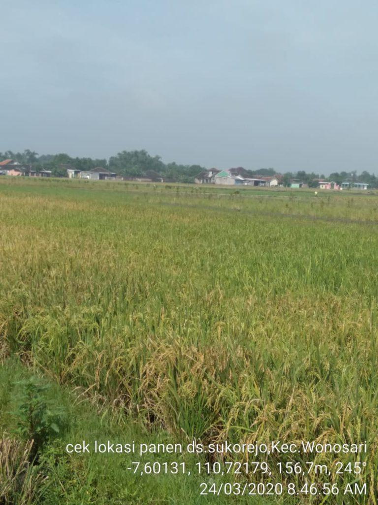 Di Tengah Wabah Covid-19, Petani Klaten Siap Pasok 90 ribu ton Beras Sampai Mei  2020