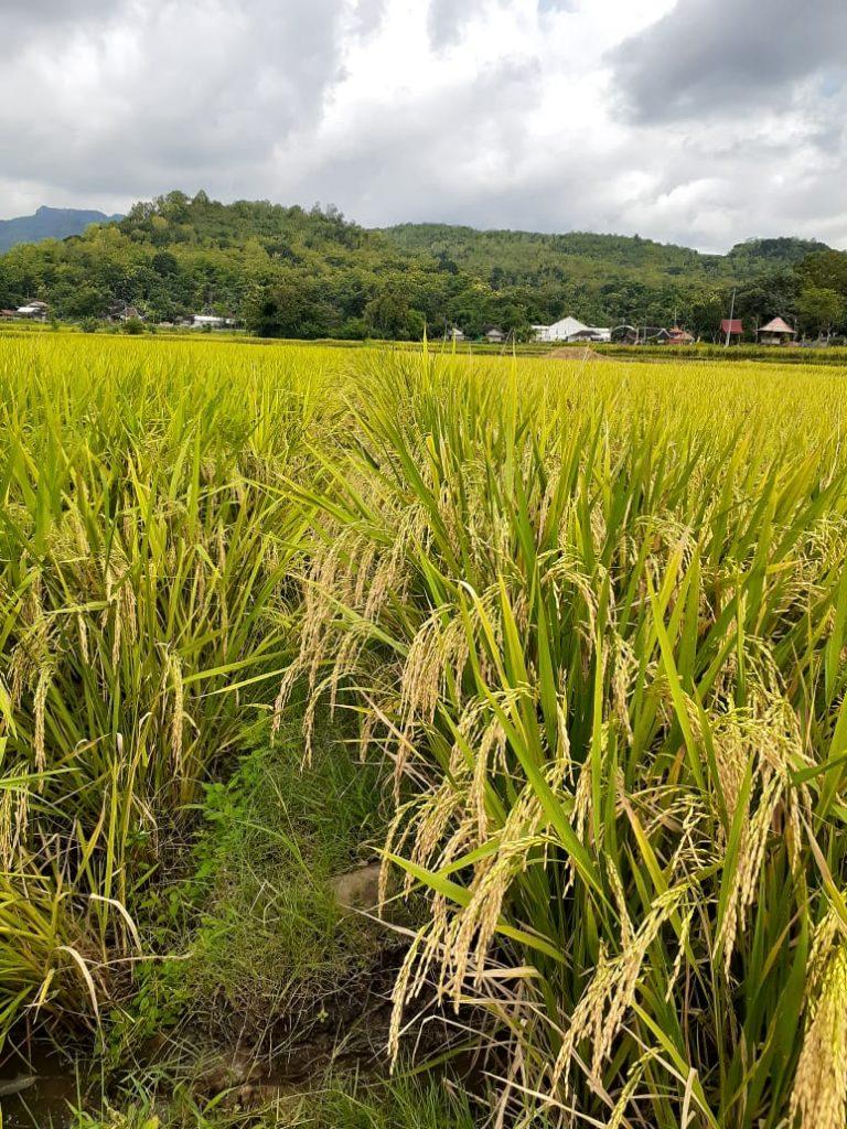 Petani Kabupaten Gorontalo Eksis Memproduksi Benih Padi Sendiri