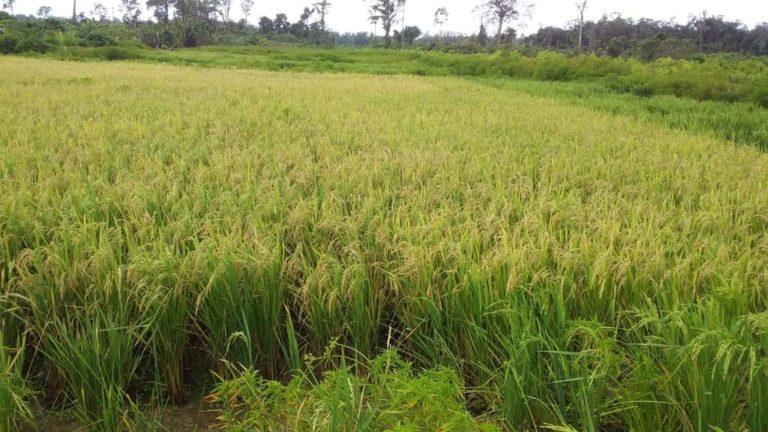 Amankan Stok Pangan, Gubernur Kalteng Tingkatkan Serap Gabah Petani