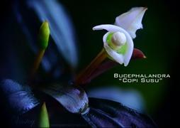 Berkenalan dengan 'Si Buce Kalimantan', Tanaman Air yang Digemari di Asia-Amerika