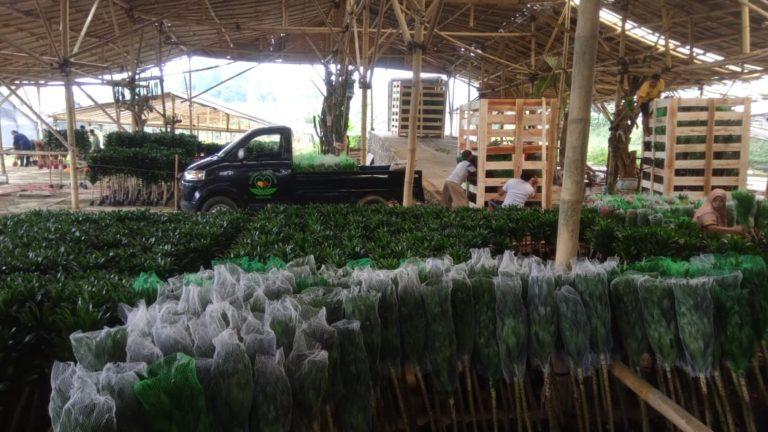Geliat Bisnis 'Lucky Bamboo' di Tengah Pandemi, Ekspor Terus Meningkat