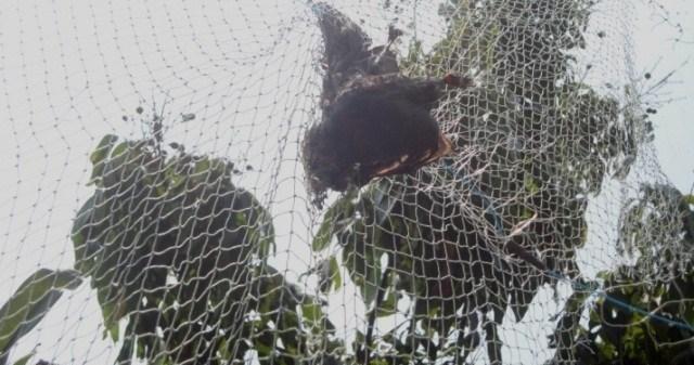 Jurus Jitu Berantas Hama Kelelawar Pada Lengkeng