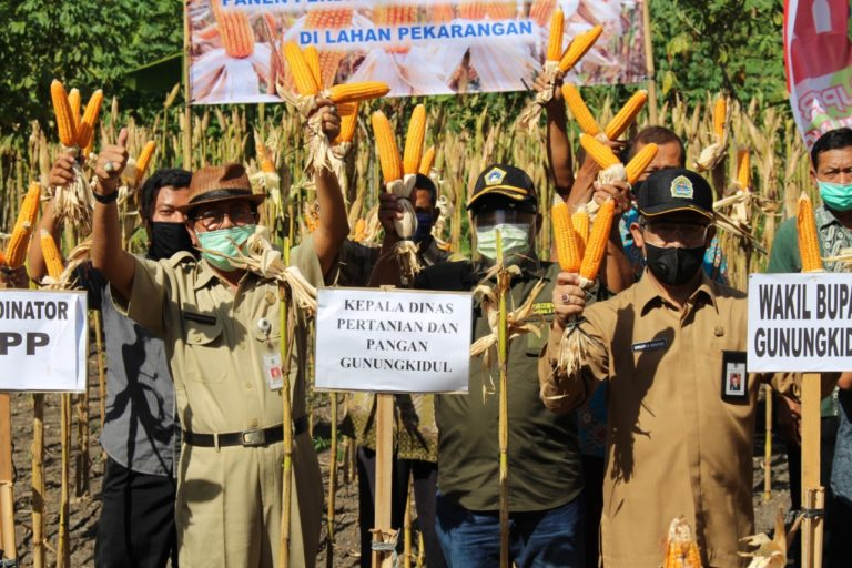 Pekarangan Ditanam Jagung, Wabup Gunung Kidul Panen Bersama Petani