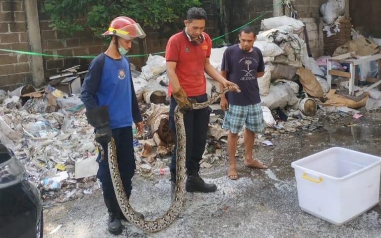 Depok Heboh! Ular Sanca Berukuran Jumbo Kembali Ditemukan di Rumah Warga