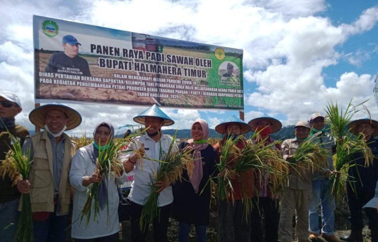 Halmahera Timur Berhasil Panen Perdana Korporasi Benih Padi