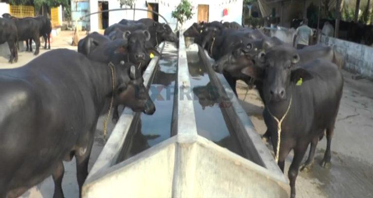 Mengenal Kerbau Unik Penghasil Susu