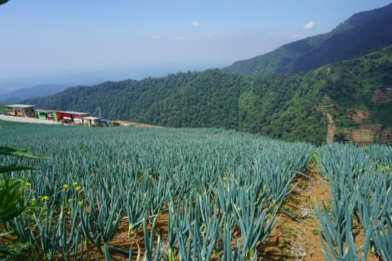 Kabupaten Batang Siap Jadi Sentra Bawang Putih Nasional