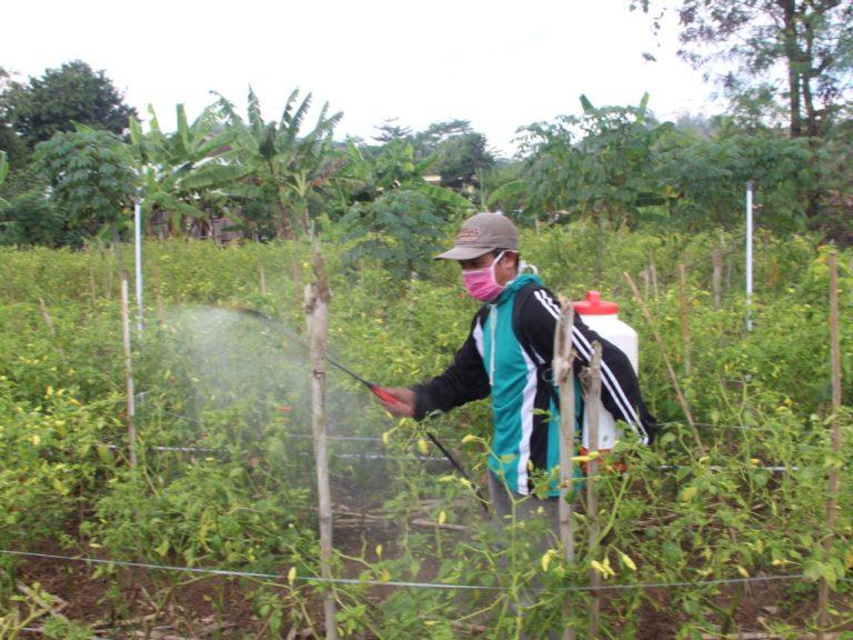 Atasi Patek, Petani Cabai Bisa Gunakan Paket Agens Hayati