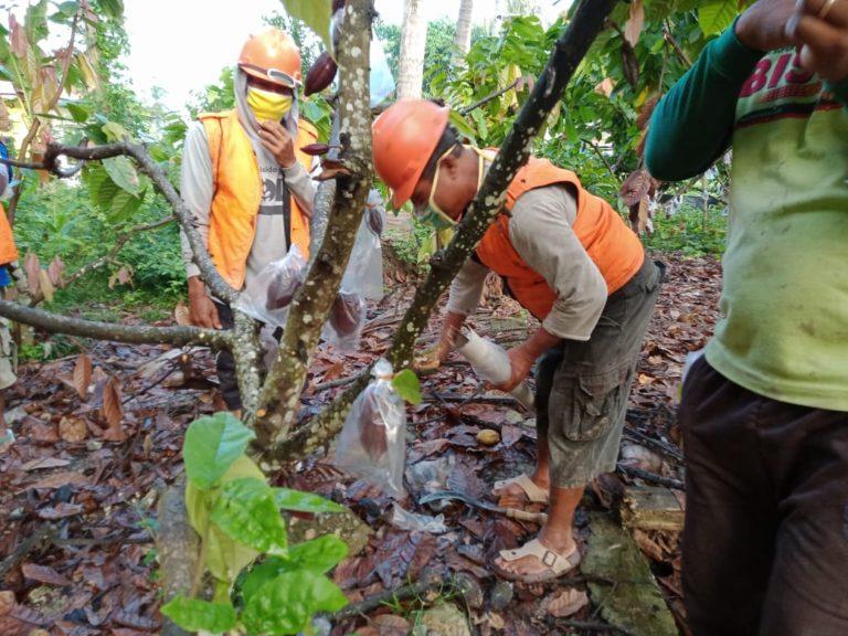 Wow! Petani Gorontalo Pakaikan 'Masker' Pada Kakao agar Terhindar dari Hama
