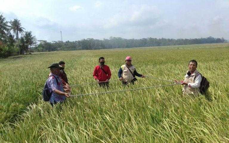 Biasanya Kena Rob, Kini Petani Cilacap Sukses Panen Padi Program Kementan