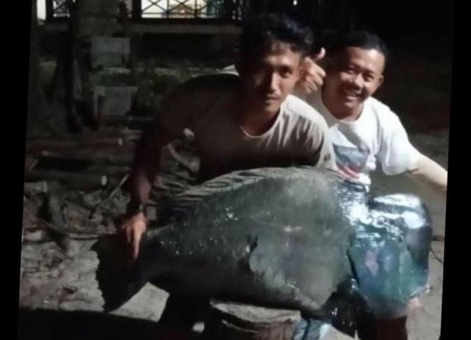 Ikan Napoleon Ditangkap Liar di Ujung Kulon, Pejabat KLHK Pastikan Pelaku Bukan Penjaga TNUK