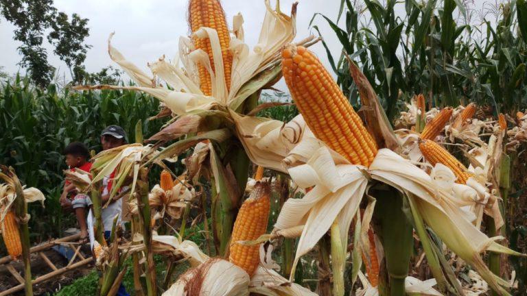 Kembangkan Program Tanam Jagung Panen Sapi, Kabupaten Kupang Terus Pacu Produksi