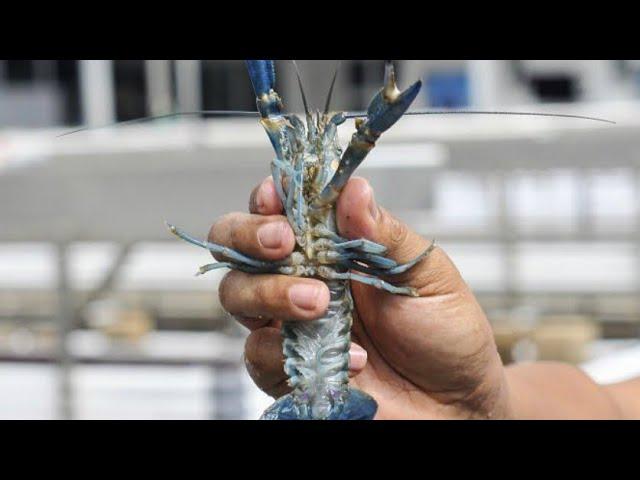 Kiat Sukses Budidaya Lobster Air Tawar